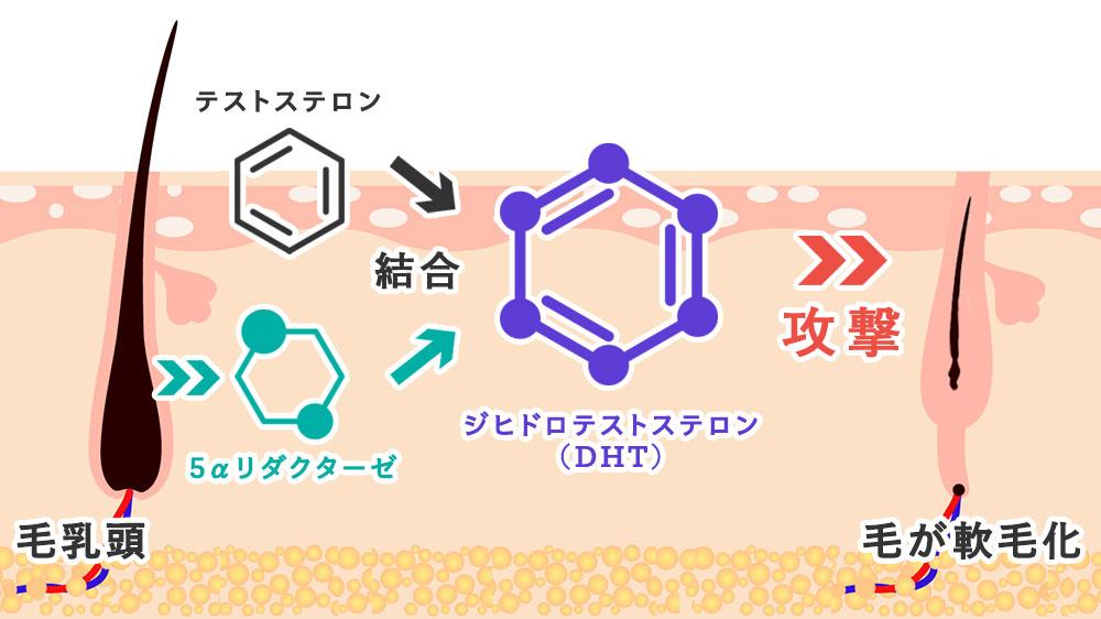 ジヒドロテストステロン(DHT)の生成